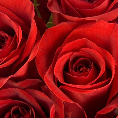 100 Gorgeous Red Roses