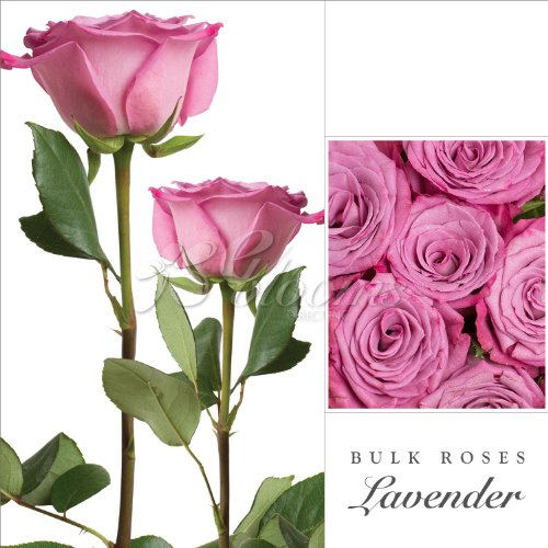 Fresh Cut Bulk Roses – Medium (LAVENDER)