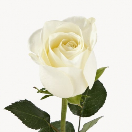 Wholesale Fresh Cut Roses from the Farm (150 Ivory)