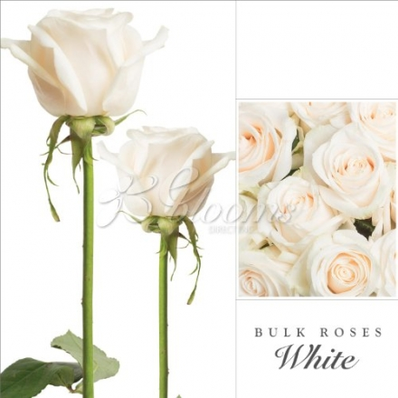 Fresh Cut Bulk Roses – Short (WHITE)