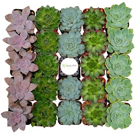 Shop Succulents Rosette Succulent (Collection of 64)