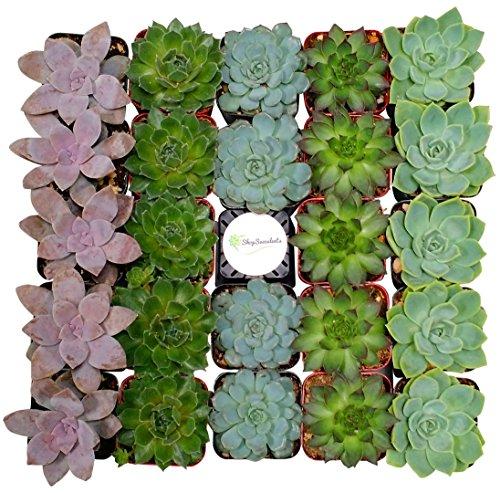 Shop Succulents Rosette Succulent (Collection of 64)